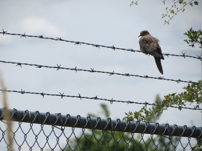 Turtledove perched on barbed wire