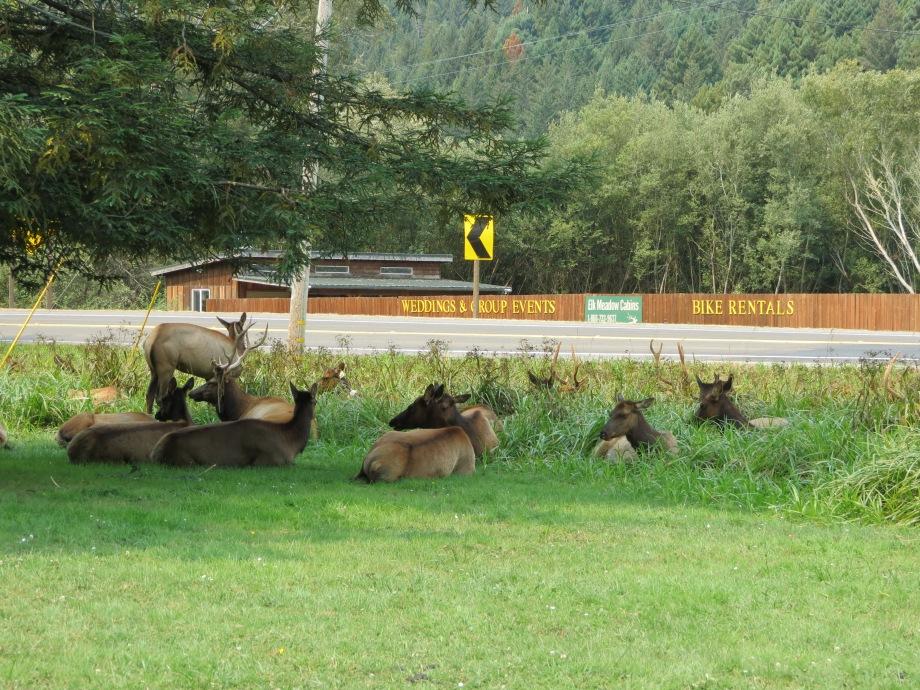 herd of elk by the road. © Naomi Fast 2018