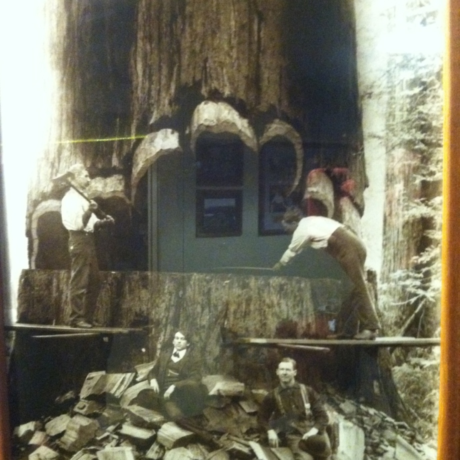 Museum photo showing a huge redwood being cut down