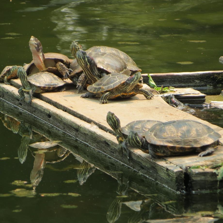 Turtles at Casa de Fruta. © Naomi Fast 2018