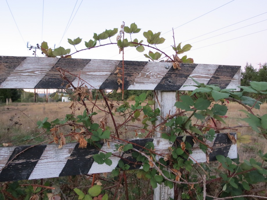 Blackberry vine on fence