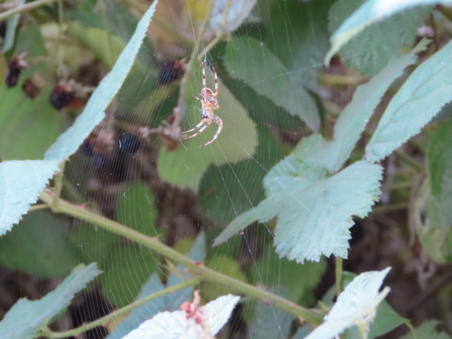 Spider web in blackberry vines