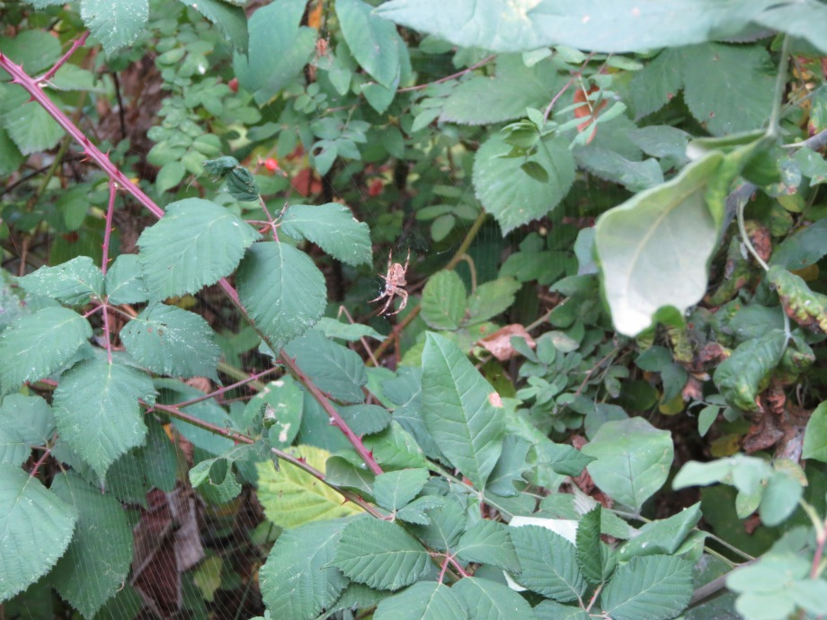 Spiders in blackberry vines