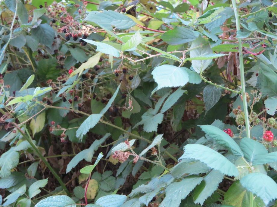 Spider web in blackberry vines