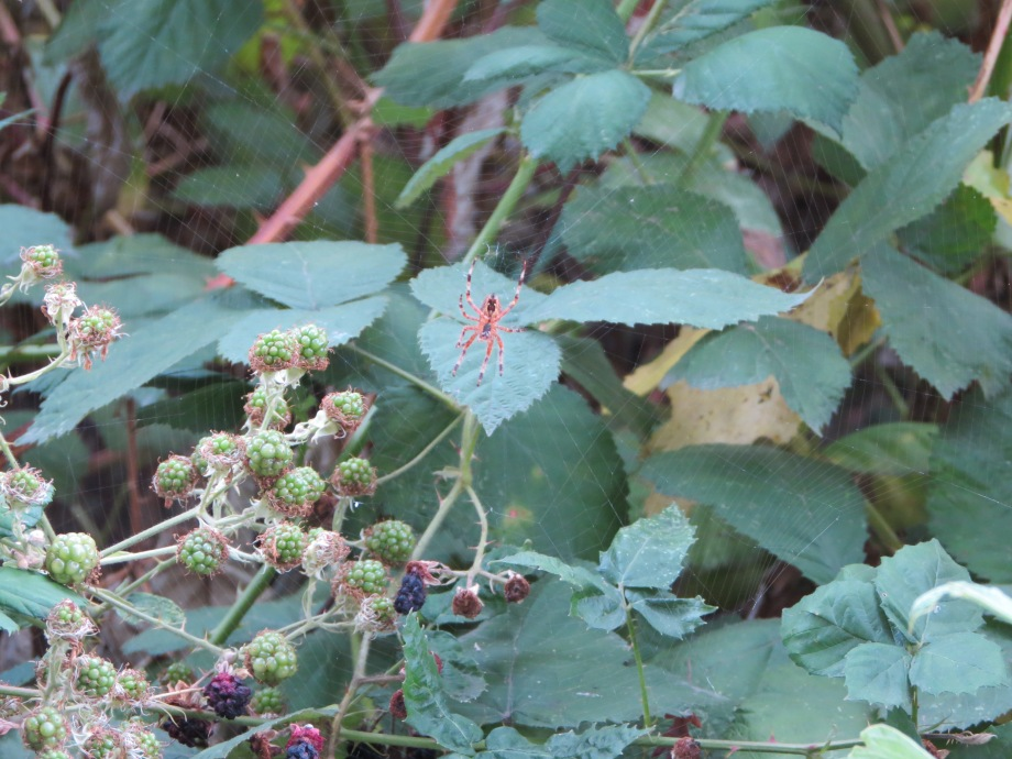 Green berries too late to ripen & spider