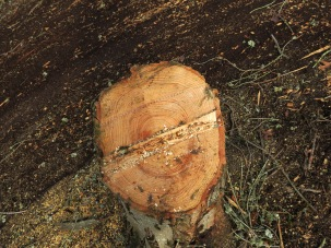 Freshly cut tree stump with many rings